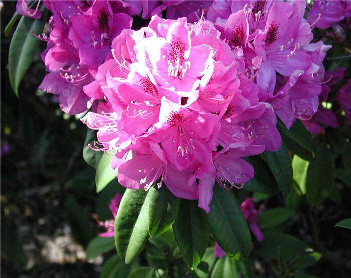 Plant photo of: Rhododendron 'Anah Kruschke'
