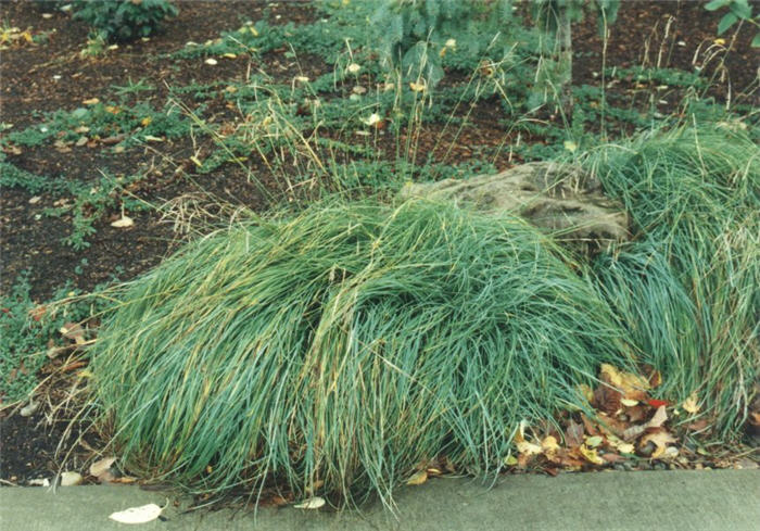 Plant photo of: Carex nigra