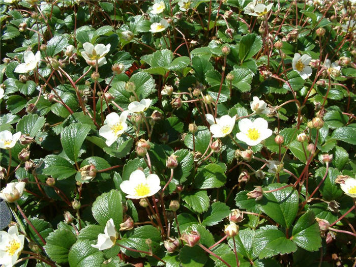 Plant photo of: Fragaria chiloensis