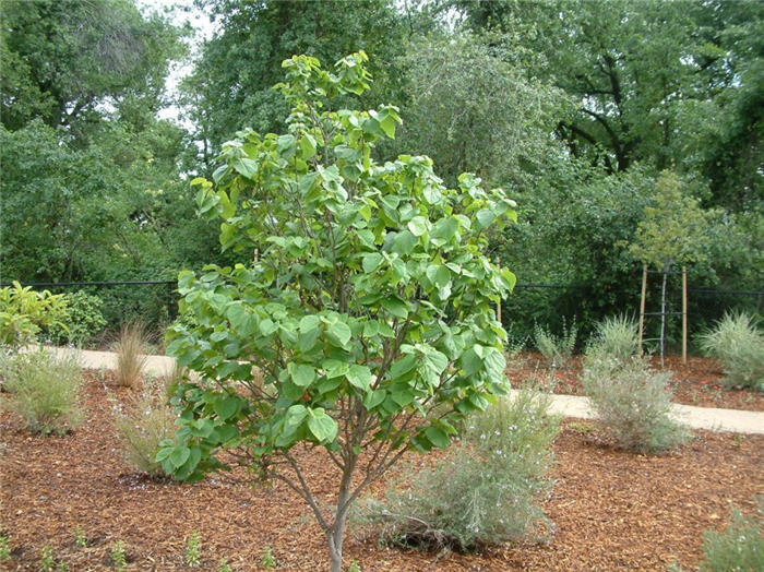 Plant photo of: Cercis chinensis 'Avondale'
