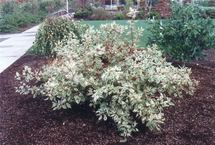 cornus alba 39 elegantissima variegata 39. Black Bedroom Furniture Sets. Home Design Ideas
