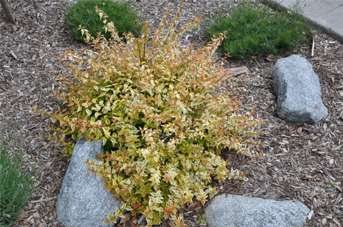 Plant photo of: Abelia X grandiflora 'Sunrise'