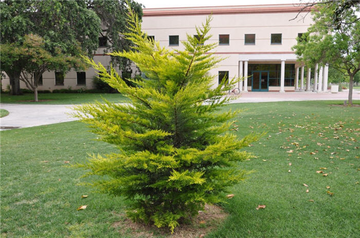 Plant photo of: Cupressus macrocarpa 'Goldcrest'