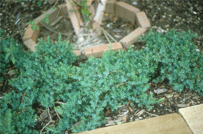 Plant photo of: Juniperus 'Blue Pacific'