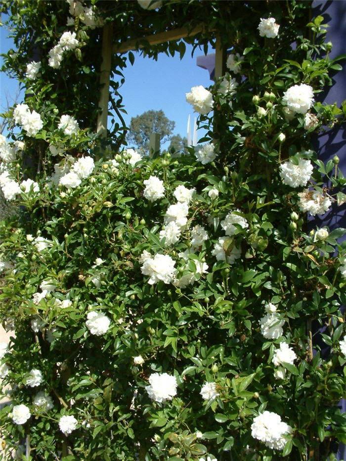 Plant photo of: Rosa banksiae 'Alba Plena'