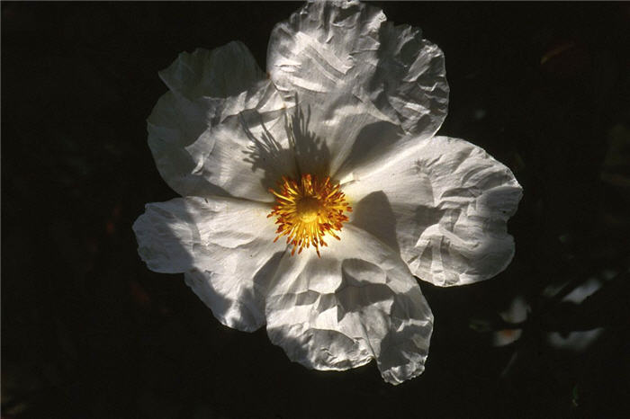 Plant photo of: Cistus 'Blanche'