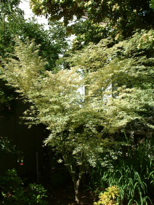 Plant photo of: Acer palmatum 'Butterfly'