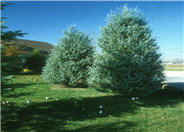 Juniperus scopulorum 'Blue Haven'