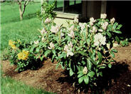 Rhododendron 'Gomer Waterer'