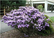 Blue Diamond Rhododendron