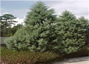 Cupressus arizonica 'Blue Ice'