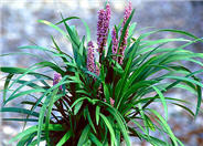 Liriope muscari 'Lilac Beauty'