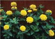 Zinnia elegans 'Yellow Marvel'