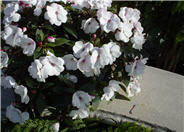 Impatiens X 'New Guinea'